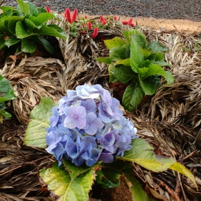 The first Hydrangea